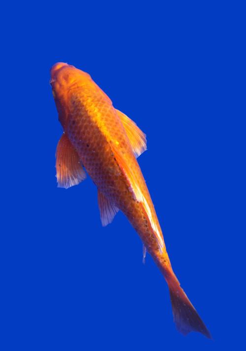 Карп породы Hi-goi. Классическая оранжевая чешуя.