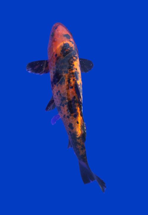 Декоративный карп породы Ki-Bekko. Оранжевый с асимметричными черными пятнами.